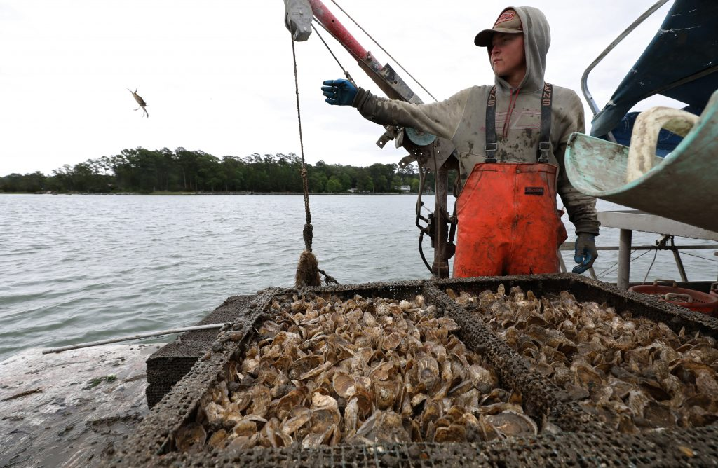 Cappahosic Oyster Company's Tyler McClellan tosses a blue crab back into the York River that had taken up residence in one of their oyster cages Tuesday May 19, 2020.